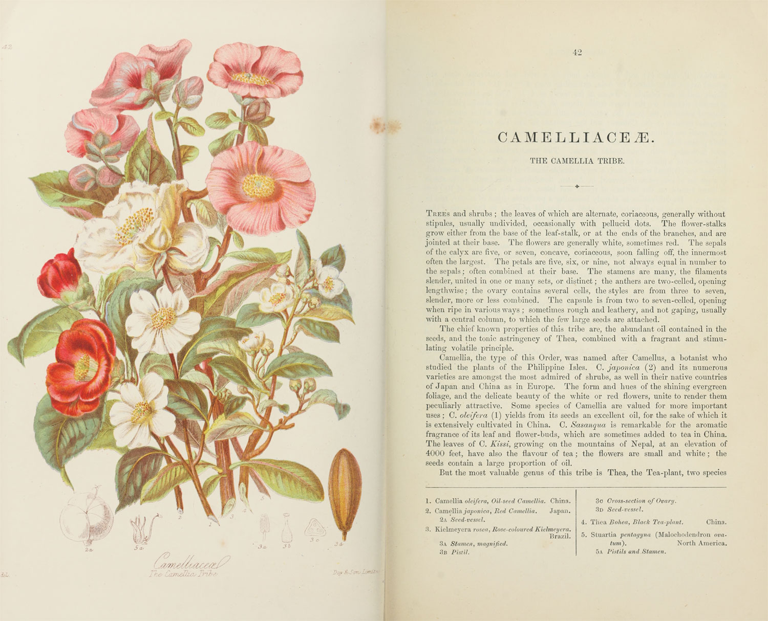 Scans of the original illustration and description of Camelliaceæ, the Camellia Tribe
