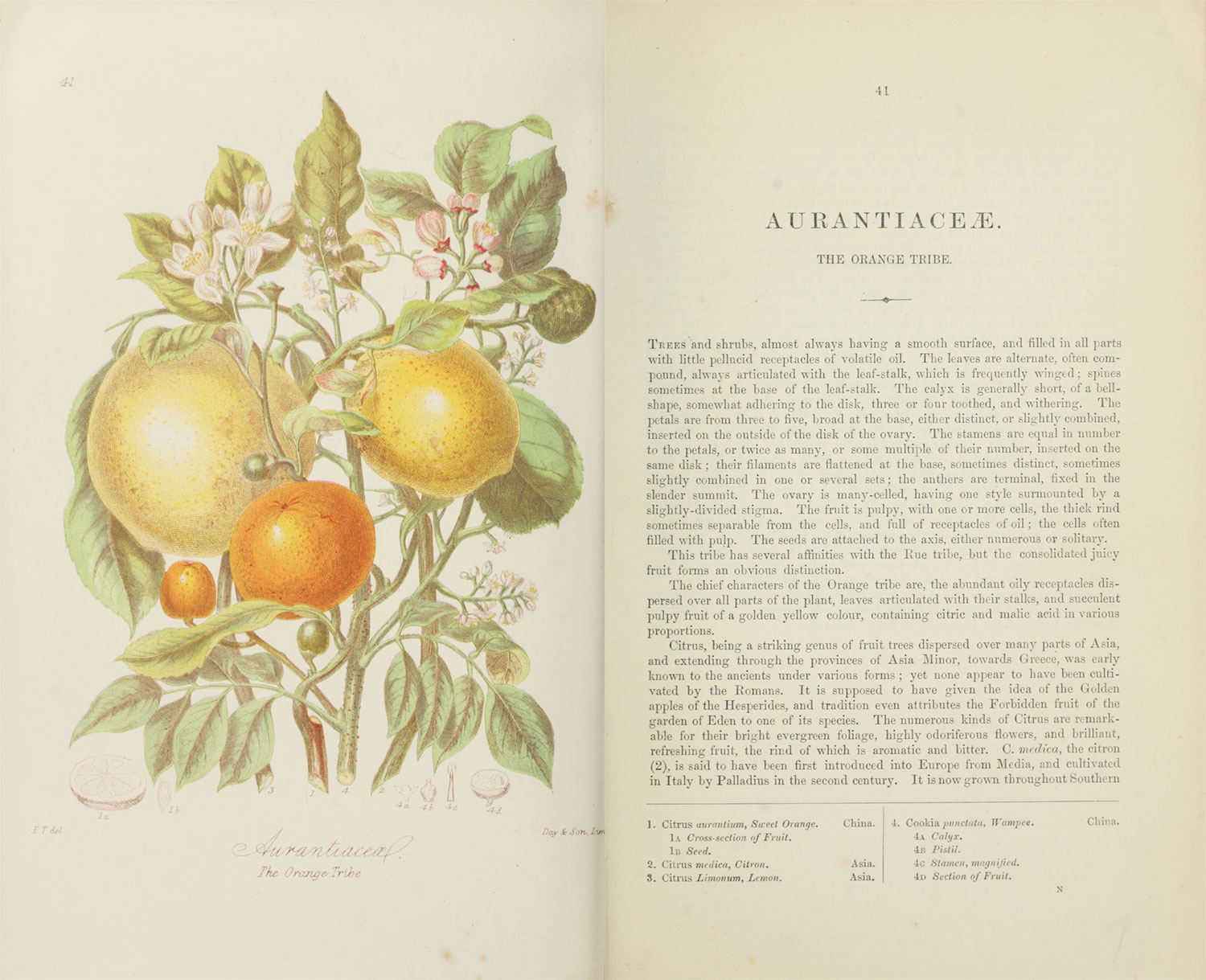 Scans of the original illustration and description of Aurantaitaceæ, the Orange Tribe